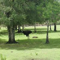 Seabase 2012 - 2012%7E07%7E25 27 African Ostrich.jpg
