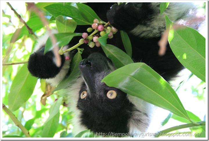 Bioparc-Valencia-Madagascar-16