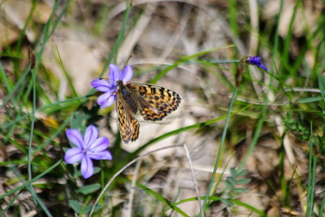 Melitaea didyma meridionalis STAUDINGER, 1870, femelle. Ravin des Fouix (426 m), les Hautes-Courennes, Saint-Martin-de-Castillon (Vaucluse), 9 mai 2014. Photo : J.-M. Gayman