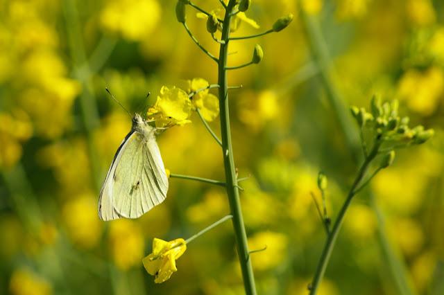 Pieris rapae LINNAEUS, 1758, femelle. Hautes-Lisières (Rouvres, 28), 22 avril 2011. Photo : J.-M. Gayman