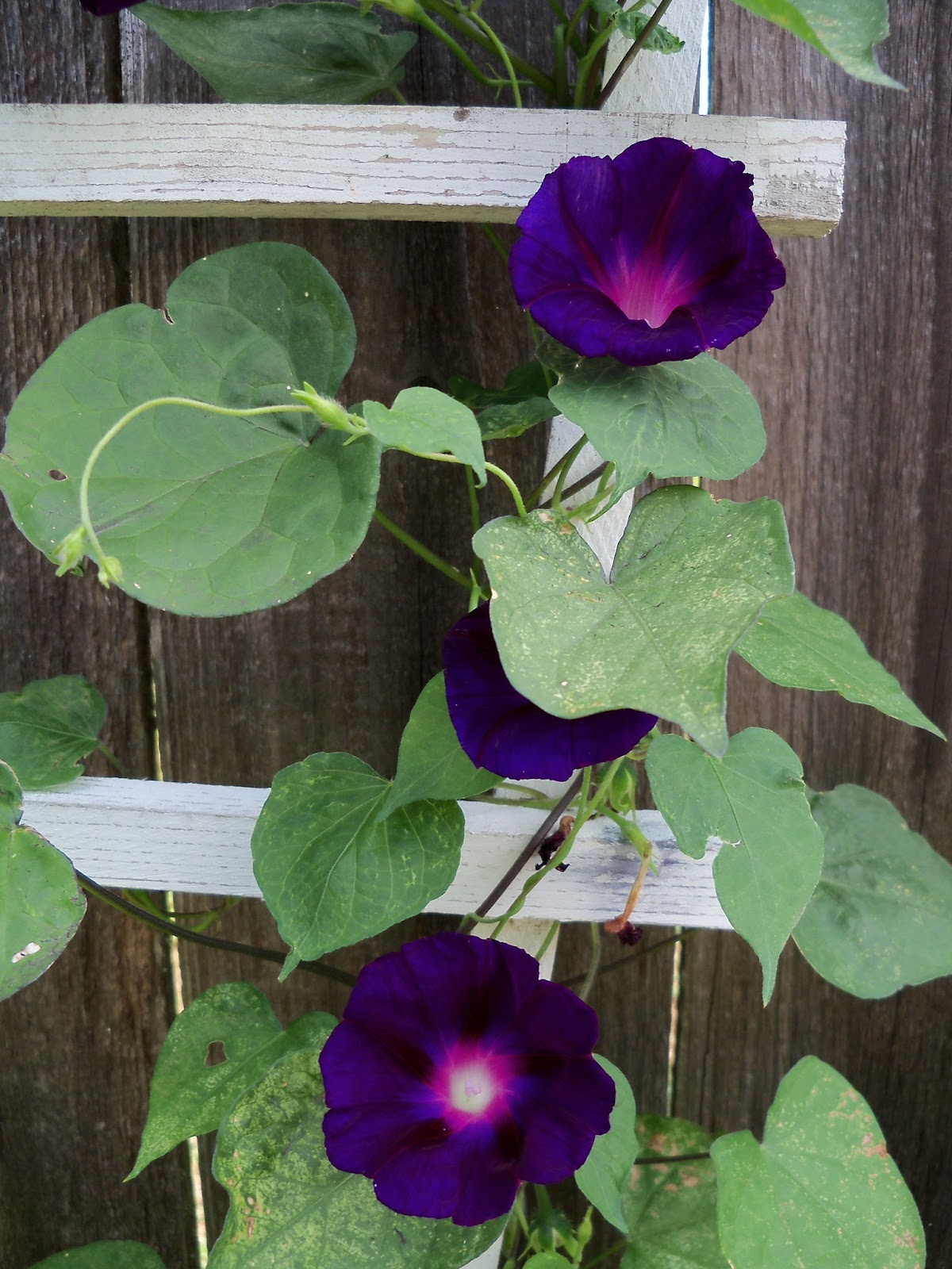 Gardening 2012 - 115_1636.JPG