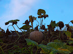 Pumpkins growing on the thatch roof