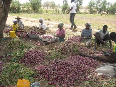 Northern farmers cries out as onions rotten over refusal to supply to South
