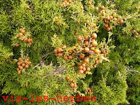 Genevrier de Phenicie Juniperus .jpg