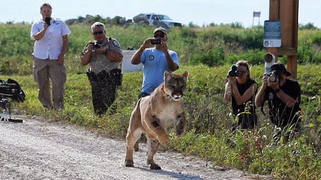 Florida Panther Released in South Florida