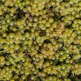 Petites vendanges 2017 du chardonnay gelé. guimbelot.com - 2017-09-30%2Bvendanges%2BGuimbelot%2Bchardonay-121.jpg