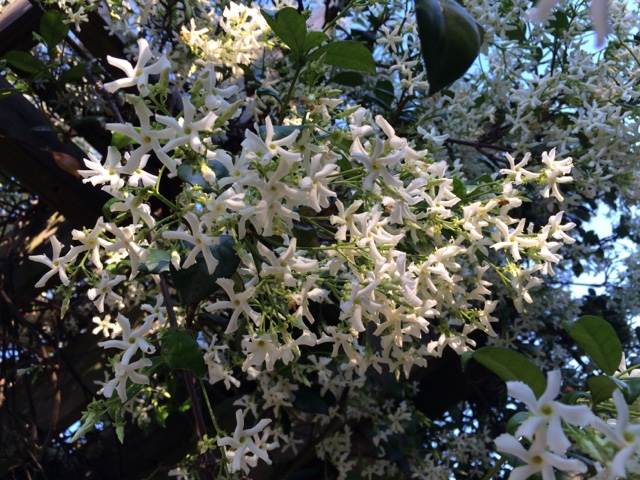 Visit Charleston, South Carolina in early May to see and smell sweet Confederate Jasmine | The Lowcountry Lady