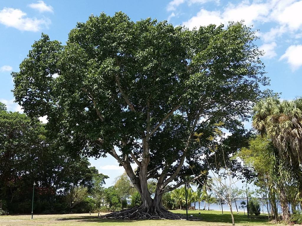 [Fig+tree%5B4%5D]