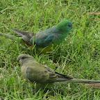 Canberra - wilde Papageien
