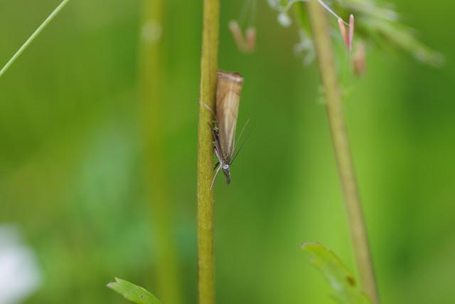 Crambidae : Crambinae : Crambus lathoniellus ([ZINCKEN], 1817) (?). Les Hautes-Lisières (Rouvres, 28), 16 juin 2012. Photo : J.-M. Gayman