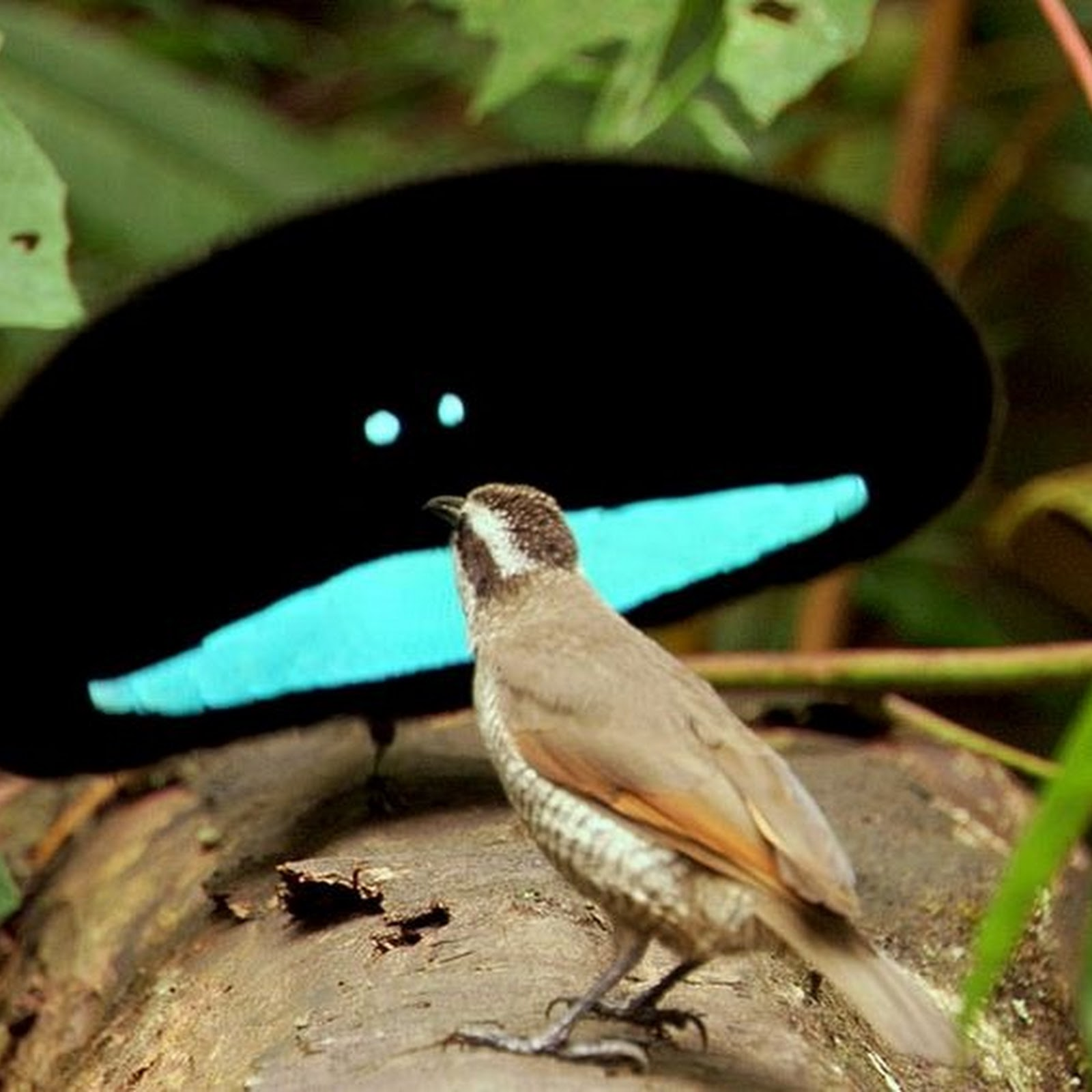 Watch The Superb Bird-of-Paradise's Courtship Dance