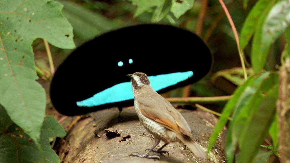 superb-bird-of-paradise-2