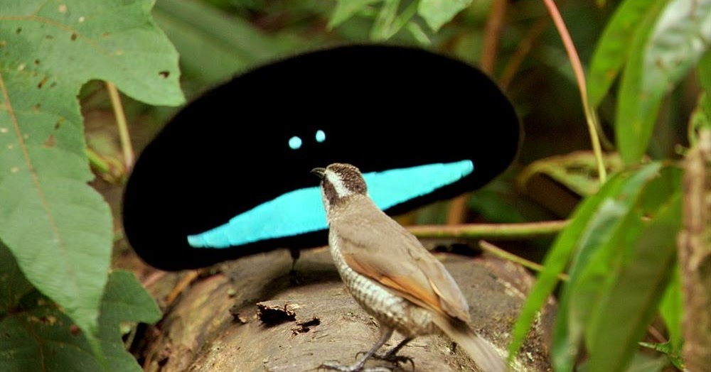 watch the superb bird of paradise s courtship dance amusing planet