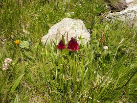 nigritelle Nigritella rhellicani Orchidacees.JPG