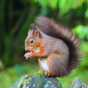 Red Squirrel by Dave Tucker - Animals Other Mammals ( red squirrel north yorkshire cute )