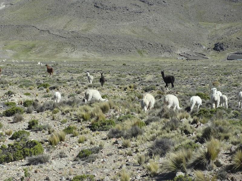 Lamy wolnożyjące w Andach.JPG