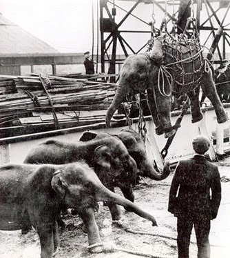 Five baby elephants arrive in the King George V Dock in October 1947. They were part of a consignment of 20 that had come from Ceylon aboard the SS Arbratus. They later appeared in Arnold's Christmas Circus on Harringay.