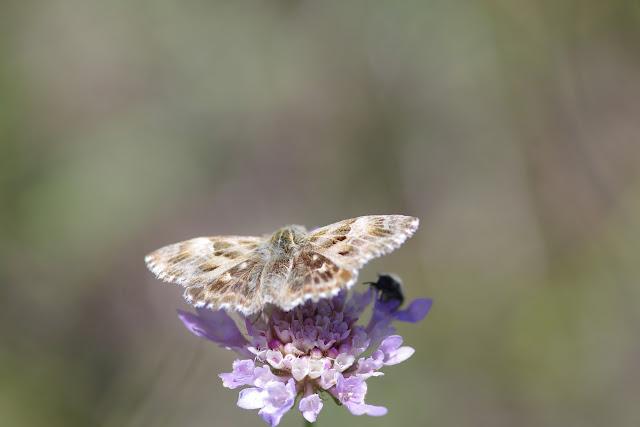 Carcharodus alceae (Esper, 1780). Les Hautes-Courennes (500 m), Saint-Martin-de-Castillon (Vaucluse), 18 juin 2015. Photo : J.-M. Gayman