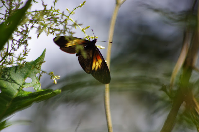 Actinote ozomene gabrielae REBEL, 1901, femelle. Départ du sentier pour Los Cedros, 1100 m. San Miguel de Chontal (Intag, Imbabura, Équateur), 18 novembre 2013. Photo : J.-M. Gayman