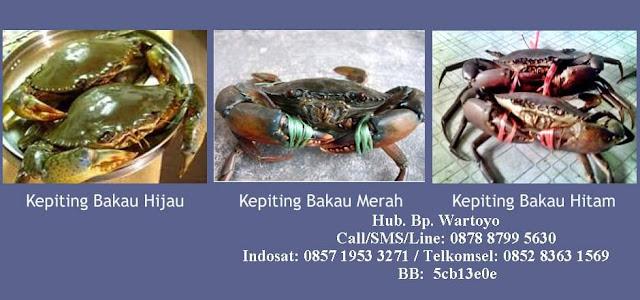 EXPORTIR Kepiting Bakau | PEMBELI | Kepiting Bakau | HARGA Kepiting Bakau