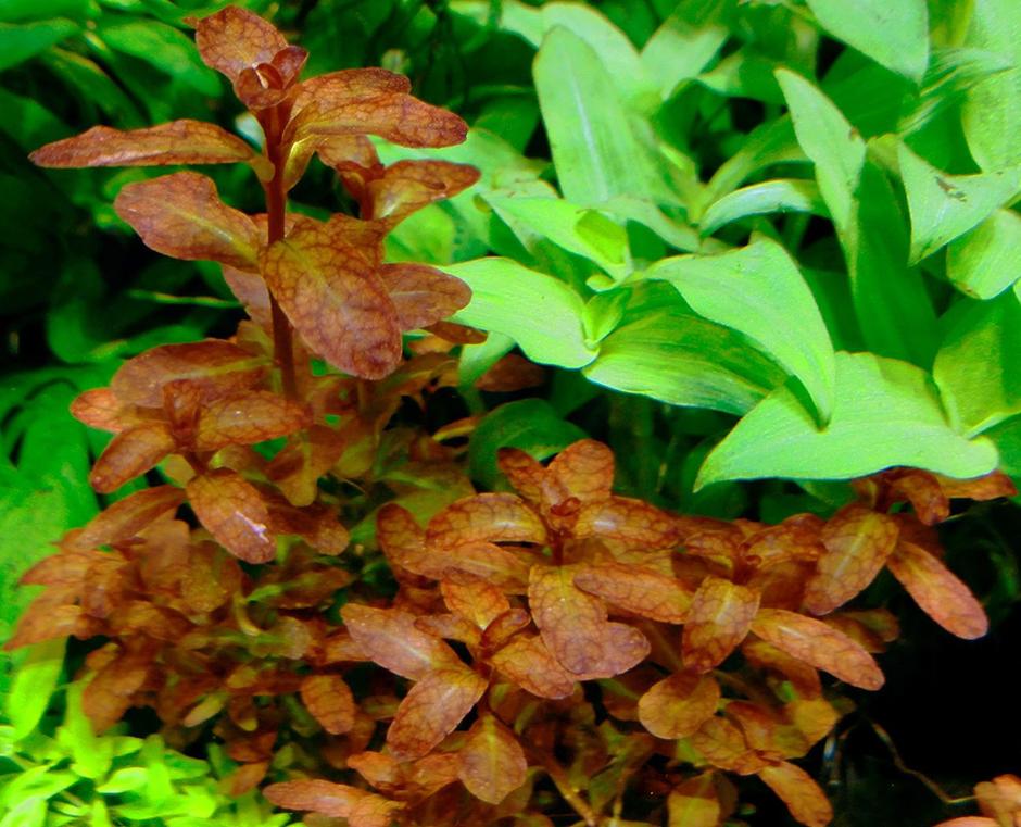 Людвигия сенегальская (Ludwigia senegalensis)