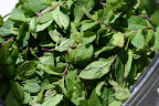 Wild mint, drying.