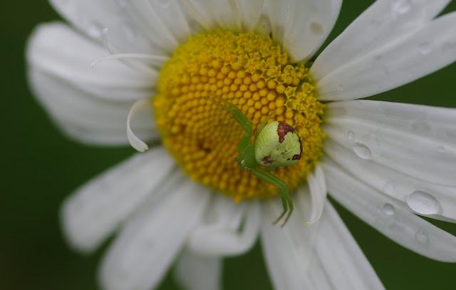 Thomisidae : Ebrechtella tricuspidata (FABRICIUS, 1775). Les Hautes-Lisières (Rouvres, 28), 11 juin 2012. Photo : J.-M. Gayman