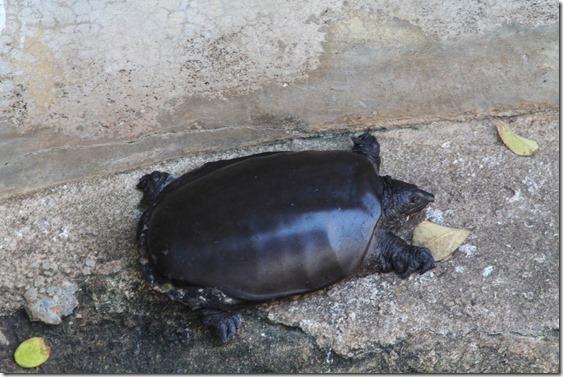 Додандува, черепаха