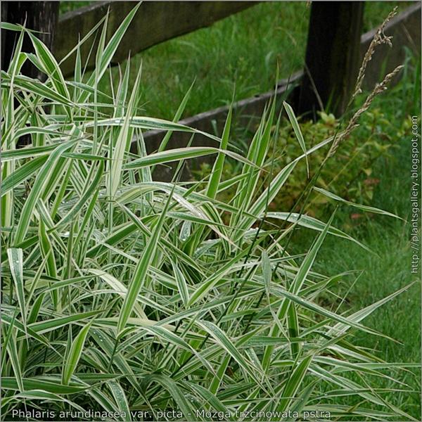 Phalaris arundinacea 'Picta' leafs and inflorescence - Mozga trzcinowata liście i kwiatostany