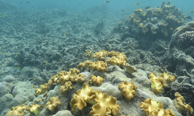 Coral on reefs around Lizard Island on the Great Barrier Reef after the worst mass bleaching event in recorded history, in 2016. Photo: Justin Marshall / University of Queensland