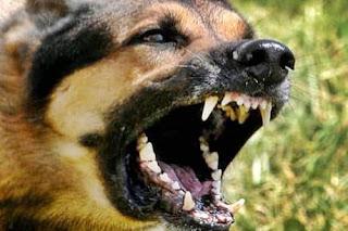 सुपौल/दर्जनों पशुओं को कुत्ते ने काटा, दवा के लिए मचा हाहाकार supaul news