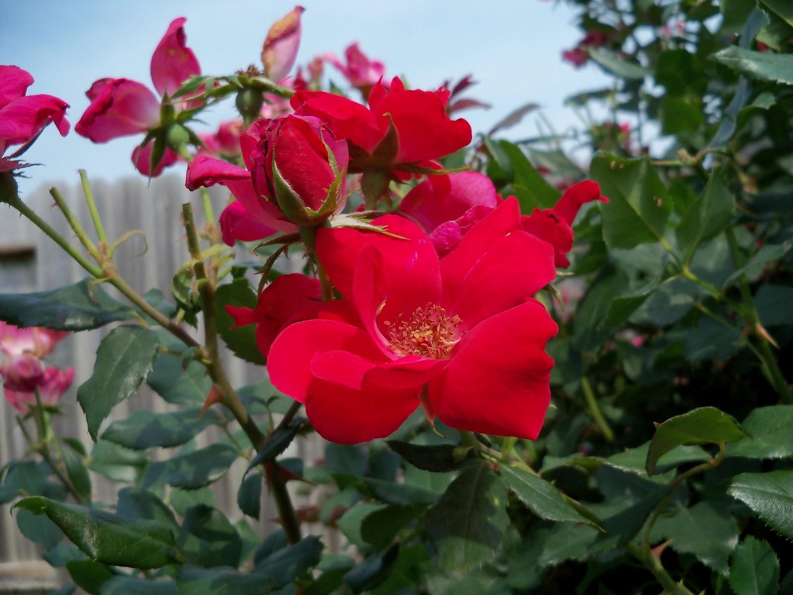 Gardening 2011 - 100_8686.JPG