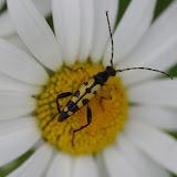 Lepturinae : Leptura maculata (PODA, 1761). Les Hautes-Lisières (Rouvres, 28), 15 juin 2012. Photo : J.-M. Gayman