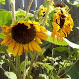 Gardening 2009 - 101_5107.JPG