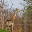 2012-11-04 17-18 Żyrafa.JPG