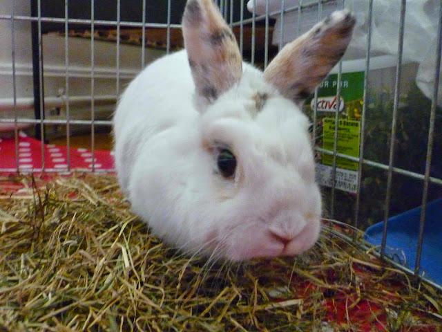 Mirana, lapine blanche-[adoptée] Mirana20