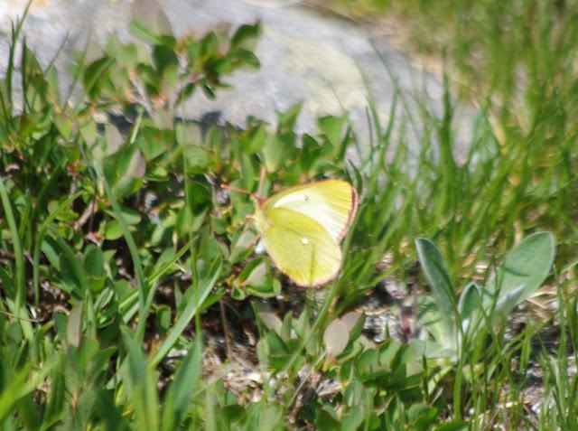 Colias palaeno (L., 1761). Alp Muot Selvas, Val Fex, 2100 m (Engadine, Grisons, CH). 14 juillet 2013. Photo : J.-M. Gayman