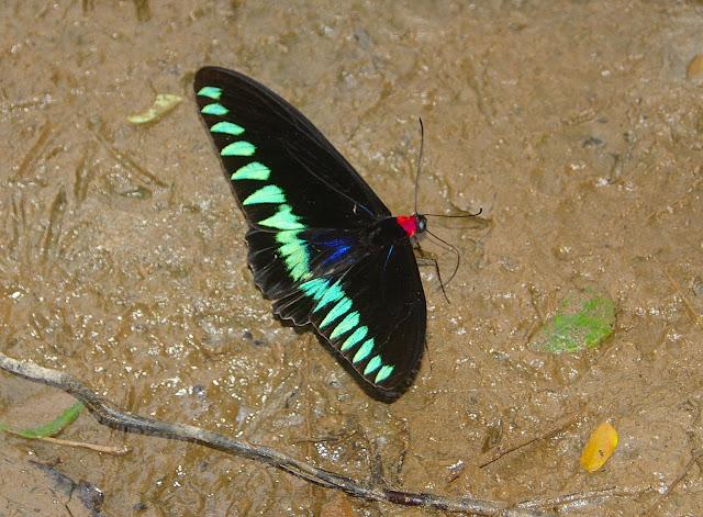 Trogonoptera trojana HONRATH, 1886, mâle, sur la plage de Port Barton, Palawan, 14 août 2005. Photo : J.-M. Gayman