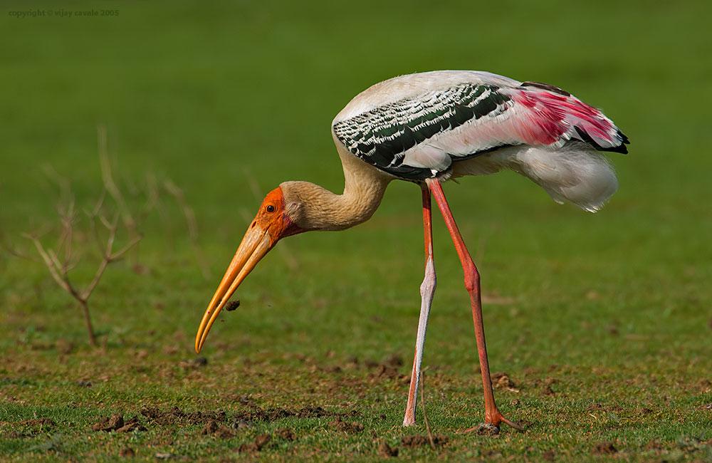 Painted Stork * Mycteria leucocephala * 93 Cms