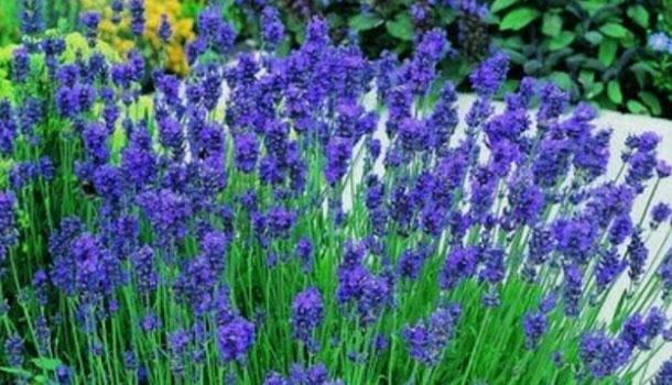 Hạt giống hoa oải hương F1 xanh