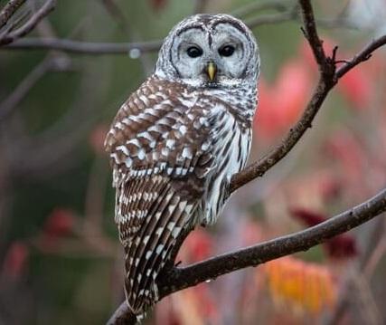 उल्लू को दिन में दिखाई क्यों नहीं देता, owl seen in the day