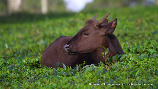 Young Gaur Calf at Valparai Tea Estates
