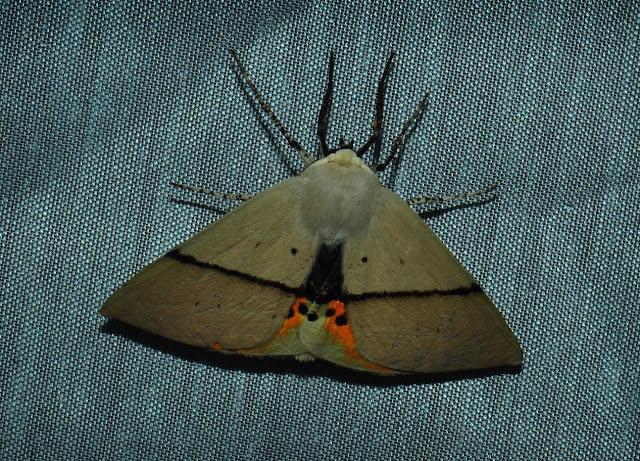 Geometridae : Oenochrominae : Gastrophora henricaria GUENÉE, 1857, mâle. Umina Beach (N. S. W., Australie), 27 décembre 2011. Photo : Barbara Kedzierski