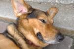 Polish dog