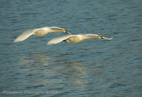 1-Mute-Swans