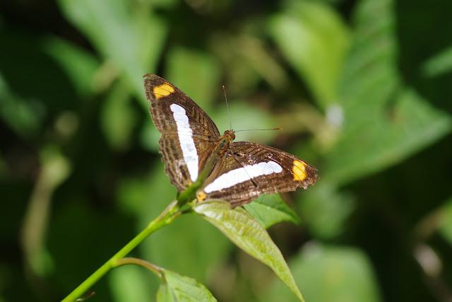Adelpha iphiclus iphiclus (Linnaeus, 1758). Cascade entre Cachipay et San Rafael, à l'est de Santa María en Boyacá, 890 m (Boyacá, Colombie), 3 novembre 2015. Photo : J.-M. Gayman