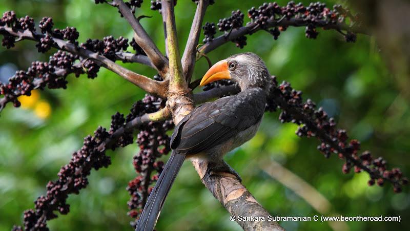 Grey Malabar Hornbill at Monica Garden Tea Bungalow, Valparai - 5