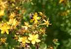 Busy bee on St. John's Wort.