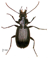 Dicrochile cordicollis. Photo: BE Rhode. Citation: Larochelle A, Larivière M-C, Rhode BE 2004-2011. Checklist of New Zealand ground-beetles (Coleoptera: Carabidae) - Image gallery. The New Zealand Carabidae, NZC 01.