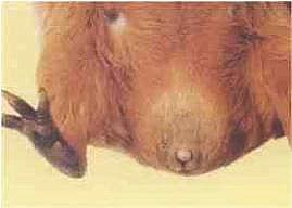 Cavia geslacht beer